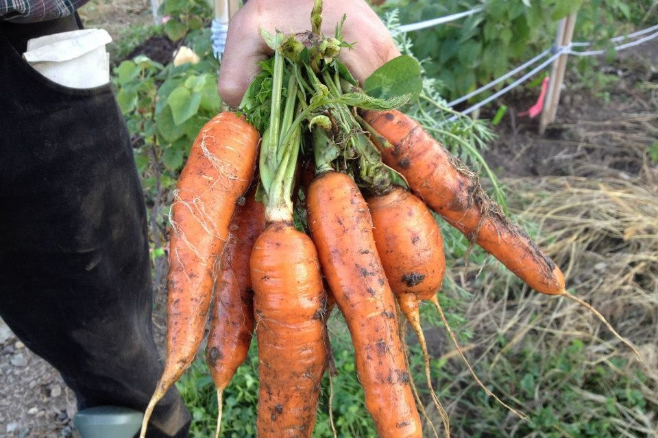 Carrots picked from the Florence Organic Community Garden
