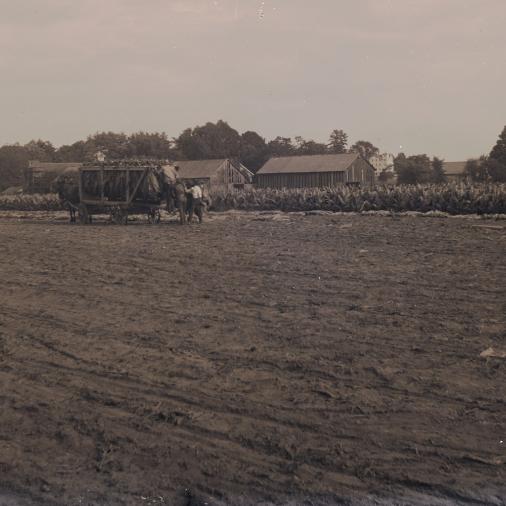 "Harvesting Tobacco On Our ""Main Field"" Circa 1890. Photo From The Goodwin Collection, Courtesy Of The Florence History Museum"